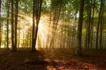 Photo for Autumn forest trees. nature green wood sunlight backgrounds. - Royalty Free Image