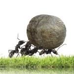 Teamwork ,team of ants rolls stone uphill...