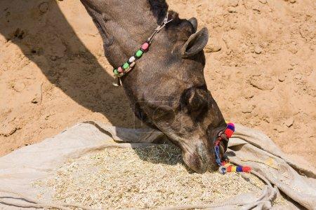 Foto de Camello en la Feria de Pushkar (Pushkar Camel Mela) Rajastán, India - Imagen libre de derechos