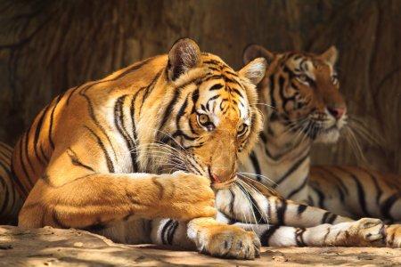 Photo pour Page tigre - image libre de droit