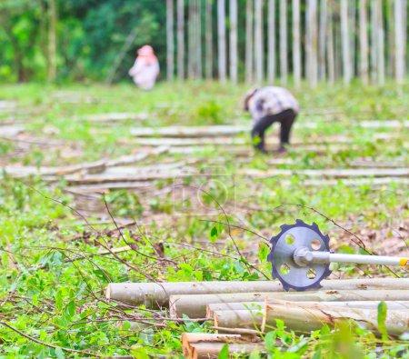 Photo pour Scie à couper le bois Scieuse Eucalyptus Eucalyptus - image libre de droit