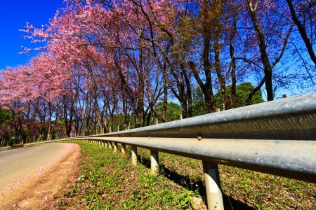 Photo for Cherry Blossom Pathway in ChiangMai,Province Thailand - Royalty Free Image