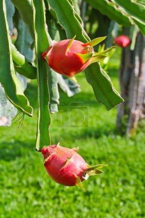 Photo pour Dragon fruit dans le jardin - image libre de droit