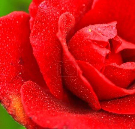 Photo pour Un closeup rose rouge - image libre de droit