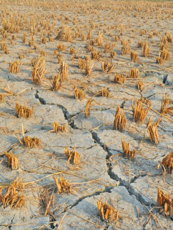 Close up of dried, cracked farm land of paddy crop...