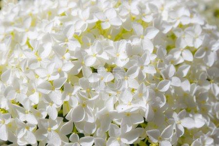 Foto de Hortensia blanca hermosa flores a annabelle en flor - Imagen libre de derechos