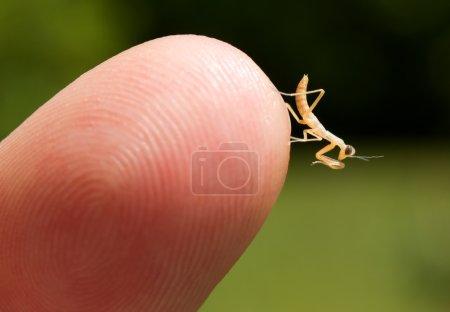 Newborn praying mantis baby at the tip of a finger...