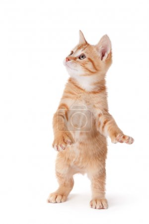 Cute orange kitten with large paws standing on its hind legs playing on a white background.