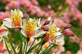 Alstomeria květiny