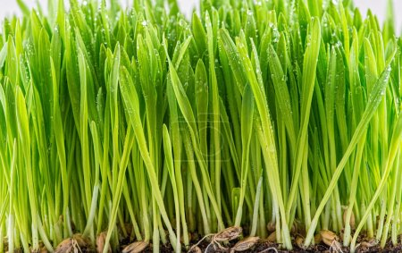 Green young wheat sprout