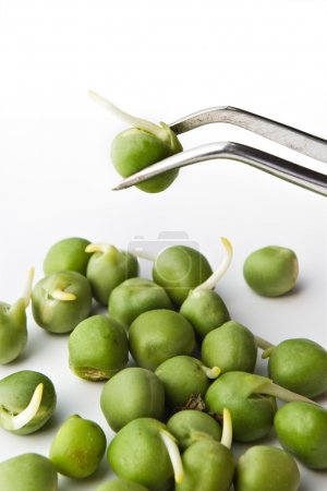Photo for Biochemistry research concept - pea examination on tweezers - Royalty Free Image