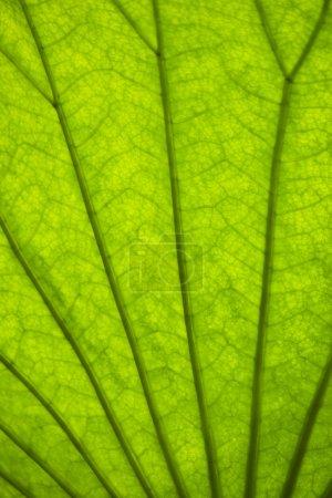 Photo pour Fond de feuille verte avec une nervation - image libre de droit