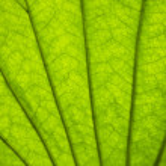 Green leaf background with venation...