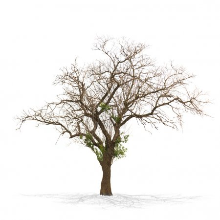 Photo for Dry dead tree isolated on white . - Royalty Free Image