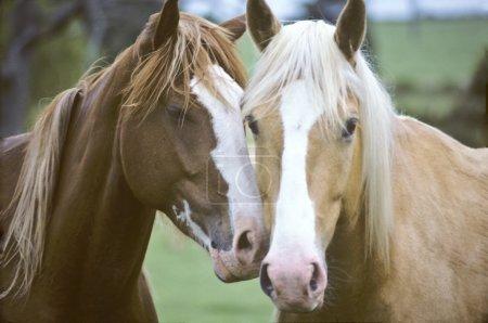 Photo pour Gros plan de deux chevaux qui s'aiment - image libre de droit