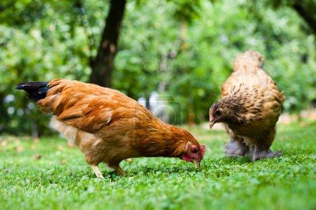 Hen in the meadow