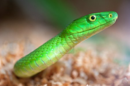 An alert green mamba appears ready to strike at an...