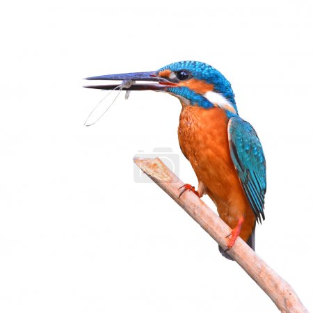 Kingfisher (Alcedo athis) eating shrimp