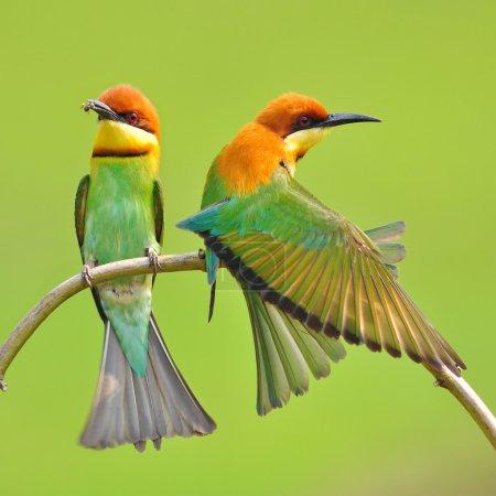 Bee eater Bird