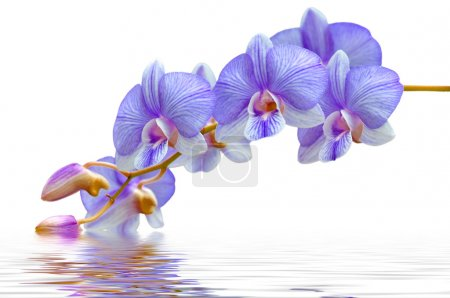 Photo for Flowers purple orchids in water - Royalty Free Image
