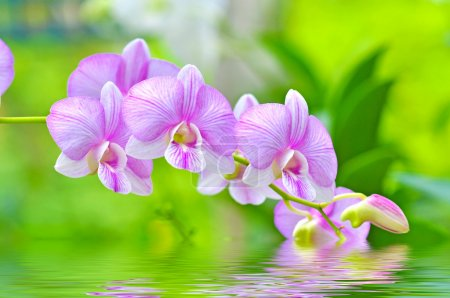 Flowers pink orchids