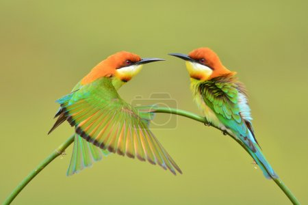 Beautiful Bee eater Bird