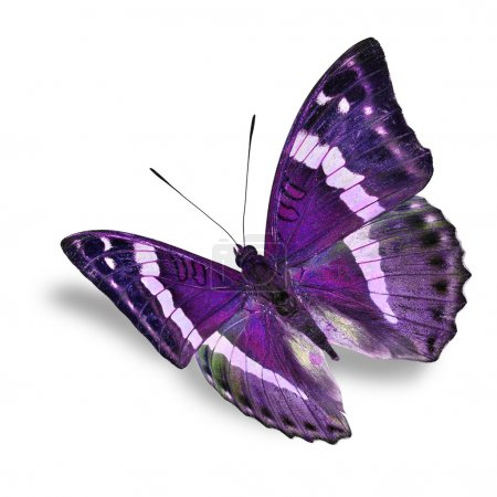 Photo for Beautiful purple butterfly flying isolated on white background - Royalty Free Image