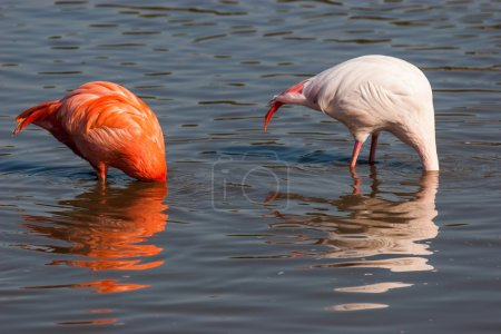 Flamingos feed with their heads down