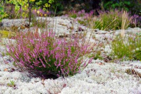Purple colored heather in nature