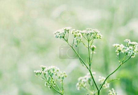 Photo pour Fleurs de carotte sauvage blanche (dentelle Queen Annes) dans une prairie d'été luxuriante avec lumière du soleil et mise au point peu profonde - image libre de droit