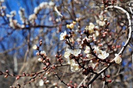 Photo pour Arbres à fleurs printanières contre le ciel - image libre de droit