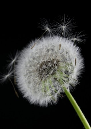Dandelion flower on black background