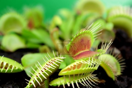 Flytrap, Carnivorous plant. ( Dionaea muscipula )...