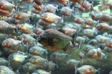 Foto de Pirañas de vientre rojo nadando bajo el agua . - Imagen libre de derechos