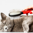 Woman combing British cat on white background...
