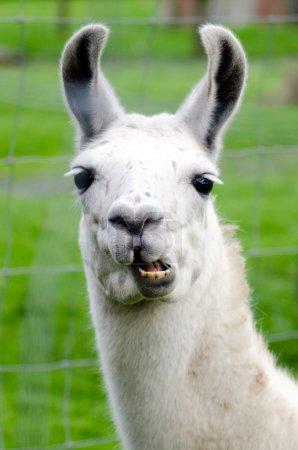 Foto de Retrato de un lama blanco en granja de lamas . - Imagen libre de derechos
