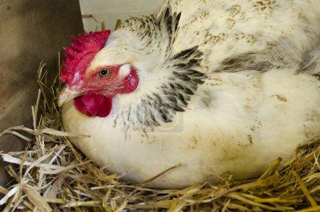 Chicken inside of a nesting box