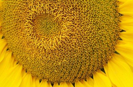 Sunflower pollen pattern