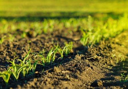 Champ de maïs en terre brune au coucher du soleil