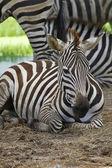 Zblízka zebra
