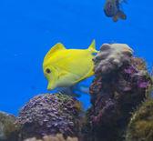 žlutá ryba