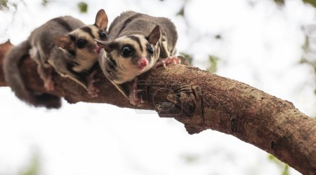 small possum or Sugar Glider