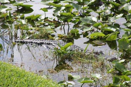 American Alligators at The Everglades National Park, Florida