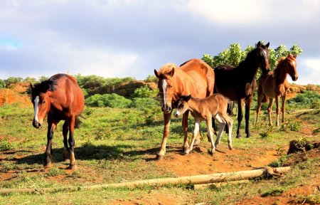 Wild horses at the Easter Island