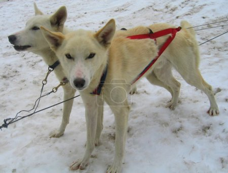 Young Alaskan huskies in musher camp ready for dog sledding