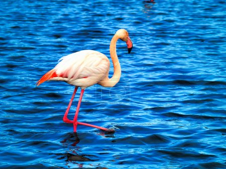 Pink flamingos Camargue National Park, France