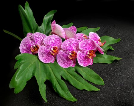 Beautiful blooming twig of stripped violet orchid (phalaenopsis