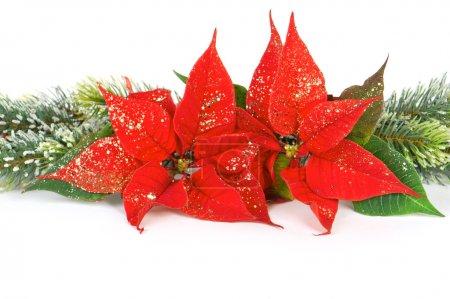 Poinsettia red christmas flower. festive decoration