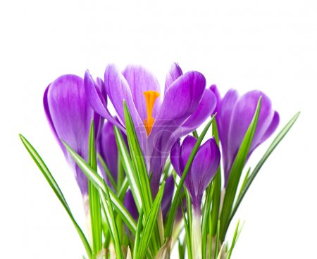 close up of beautiful spring crocus flowers