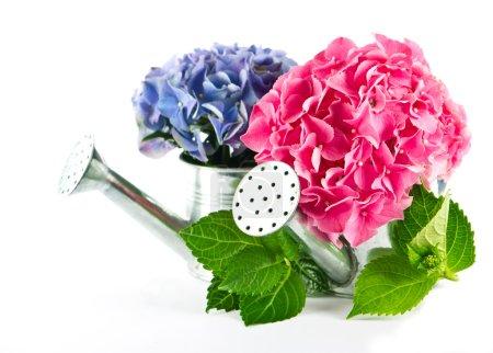 Foto de Hortensia azul y rosa florece en regadera - Imagen libre de derechos